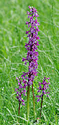 Salep Çiçeği - orchis mascula