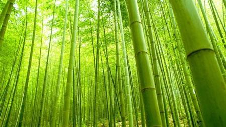 Bambu Ağacı Nerede Yetişir