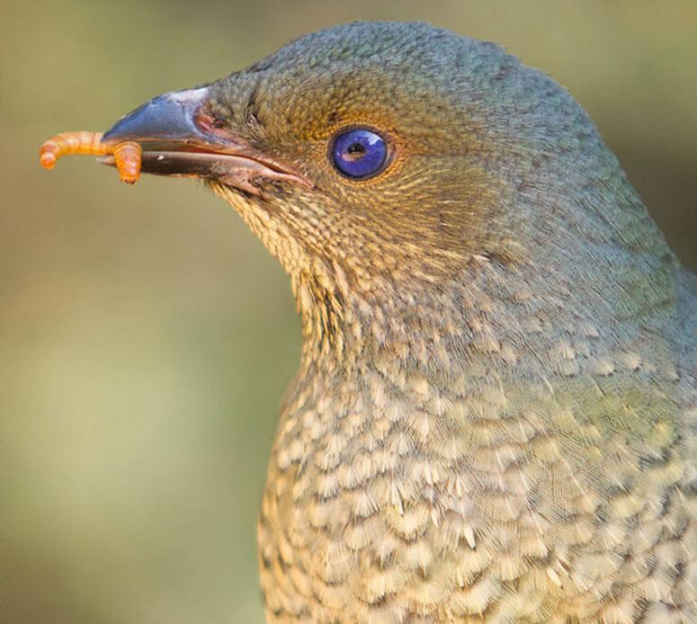 Çardak Kuşları Türleri