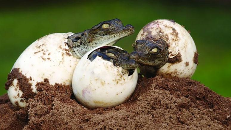 Timsah Yavruları Yumurtadan Çıkarken