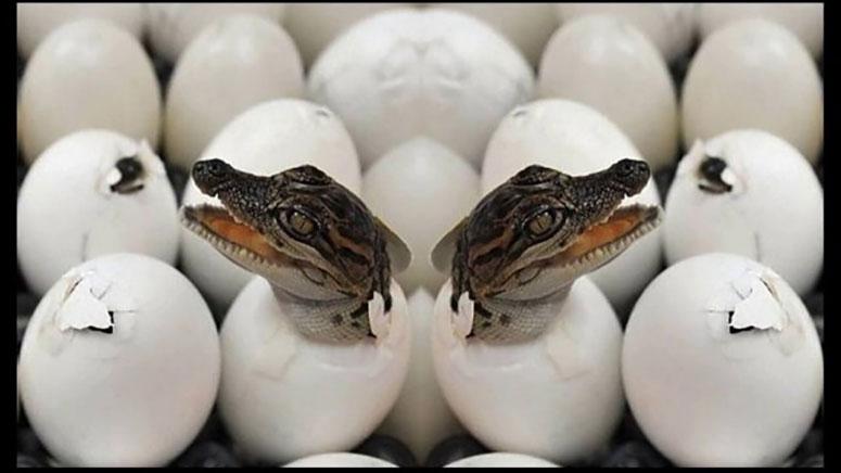 Timsah Yumurtası Nasıldır